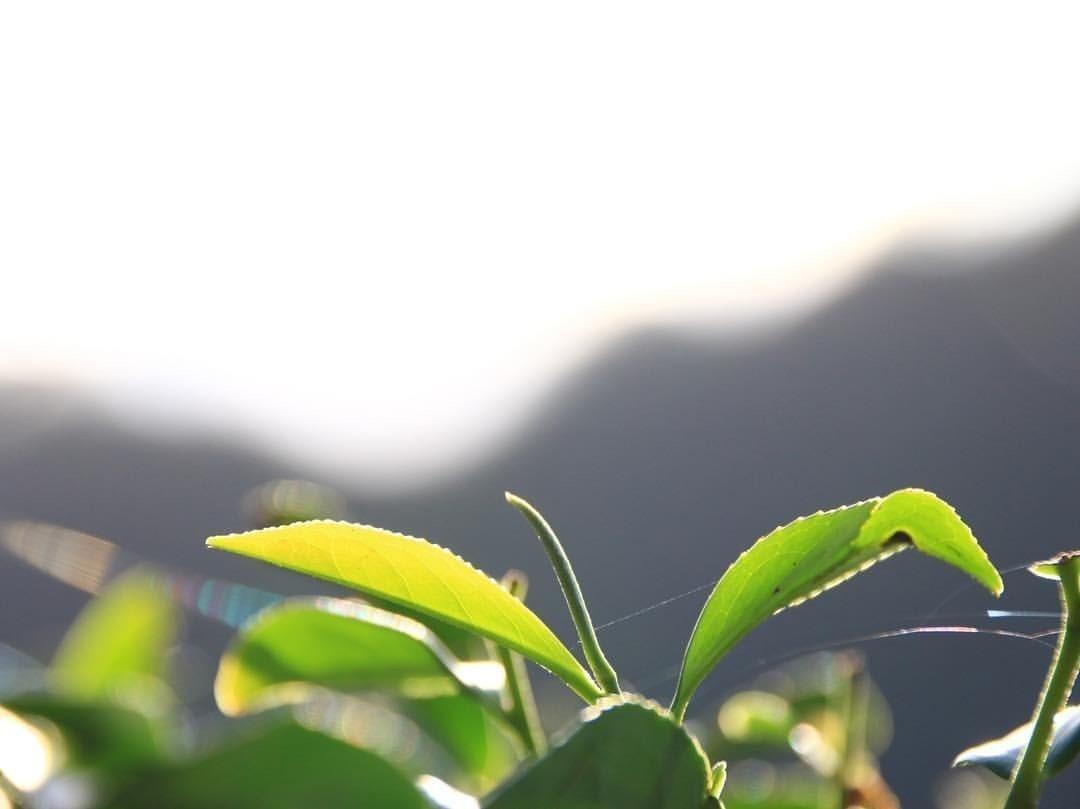 日月潭紅茶 | 日月潭紅茶為什麼好喝?6個美味順口的秘密- 【紅茶的故鄉-日月潭】