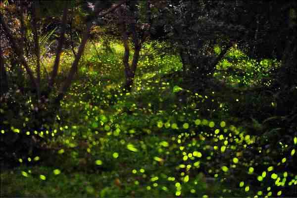 2020南投螢火蟲景點 ︱溪頭自然教育園區