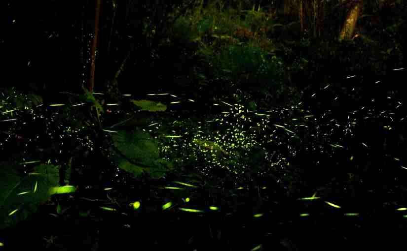 日月潭螢火蟲-夜遊