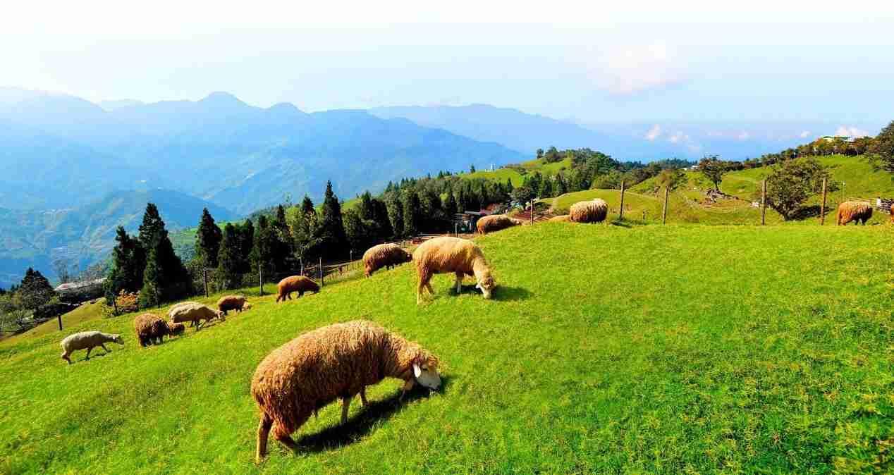 清境天氣 | 綿羊