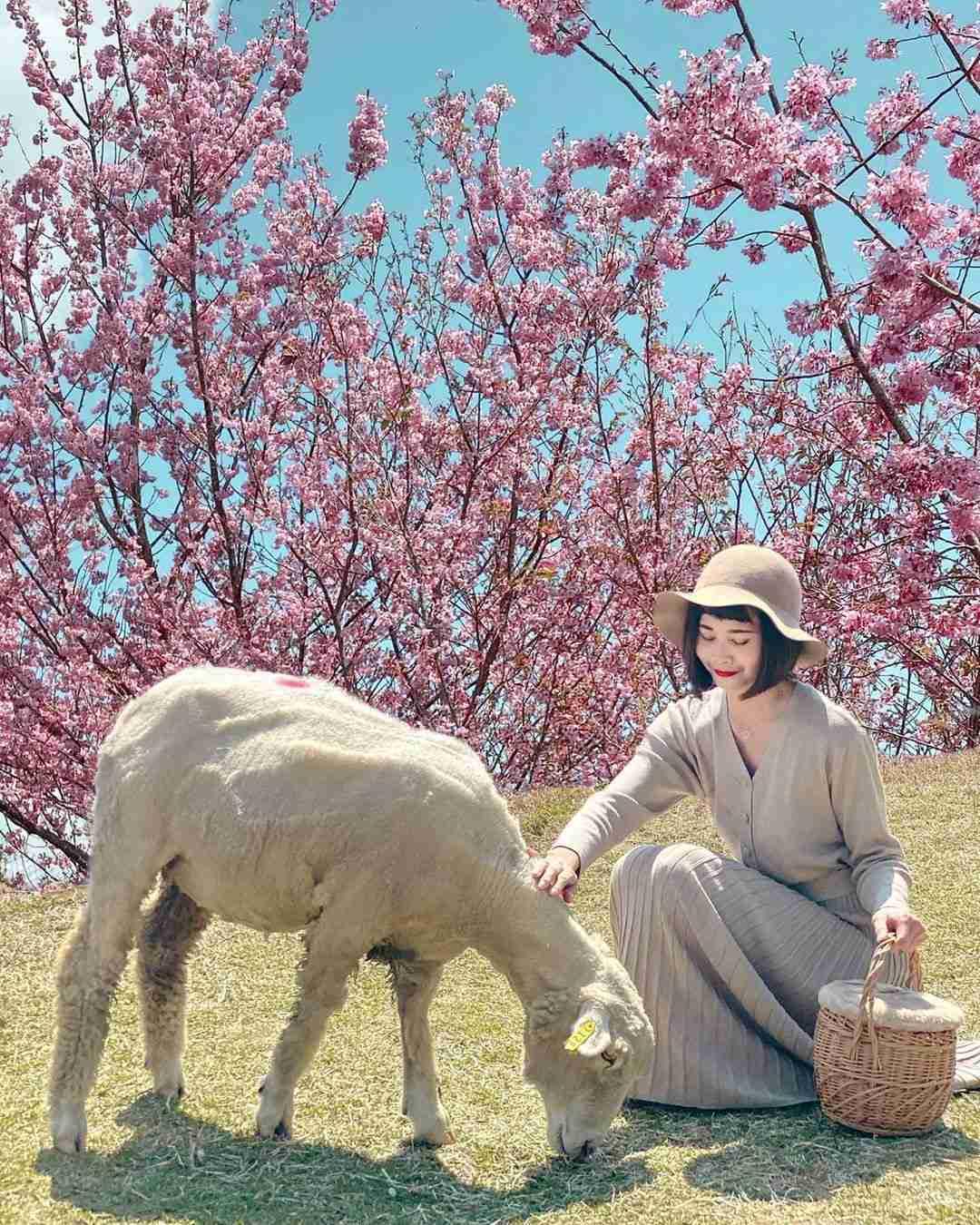 清境天氣 | 春天,清境的櫻花盛開