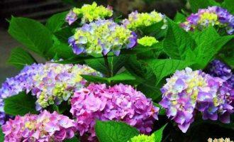 南投縣杉林溪森林生態渡假園區繡球花盛開,五顏六色,美不勝收。