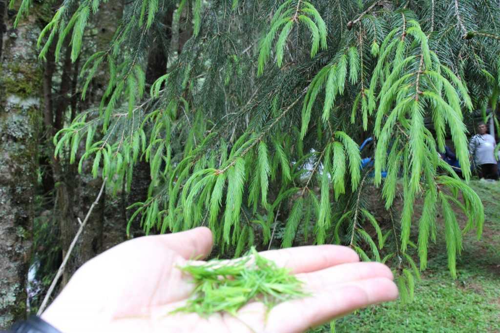 高山植物 扁柏
