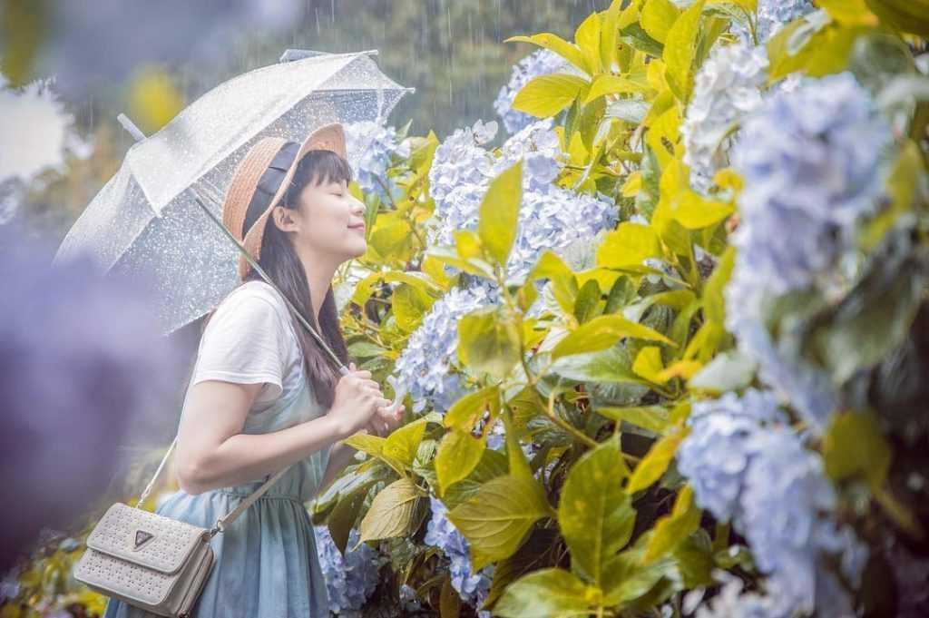 杉林溪繡球花季   杉林溪森林生態渡假園區