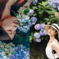 杉林溪繡球花季 |如夢似幻的繡球花開了《花季時間、交通路線、門票價格》