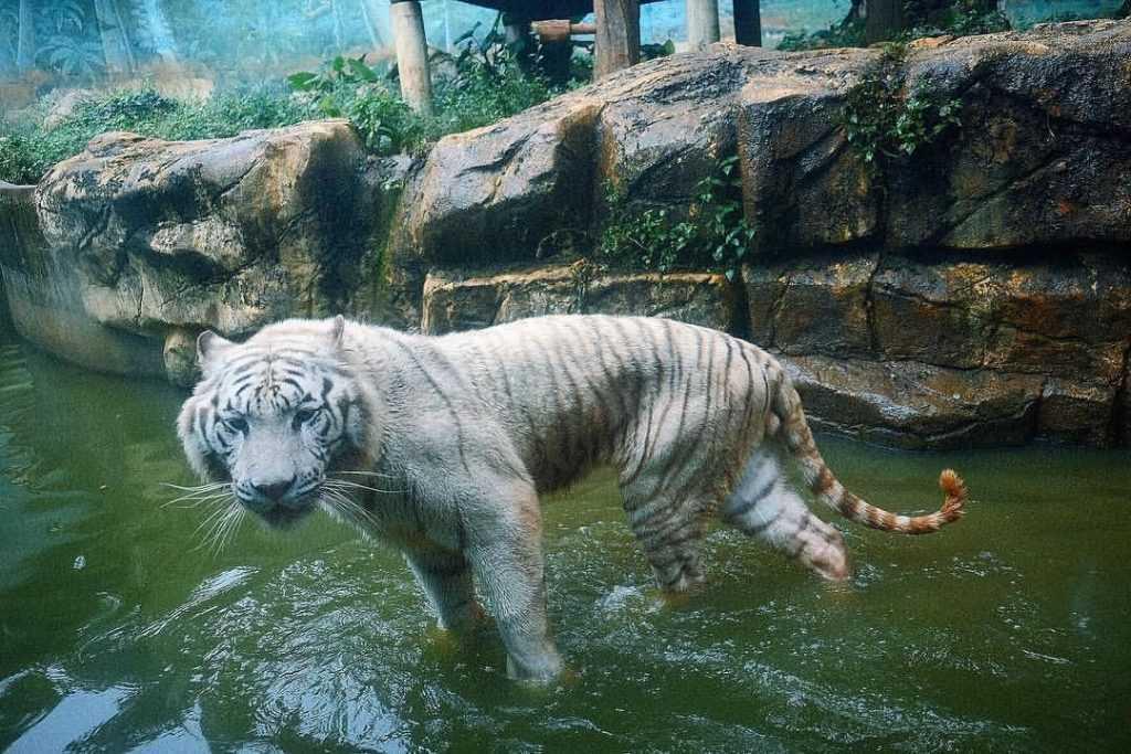 六福村動物園白老虎 ansonvsiverson