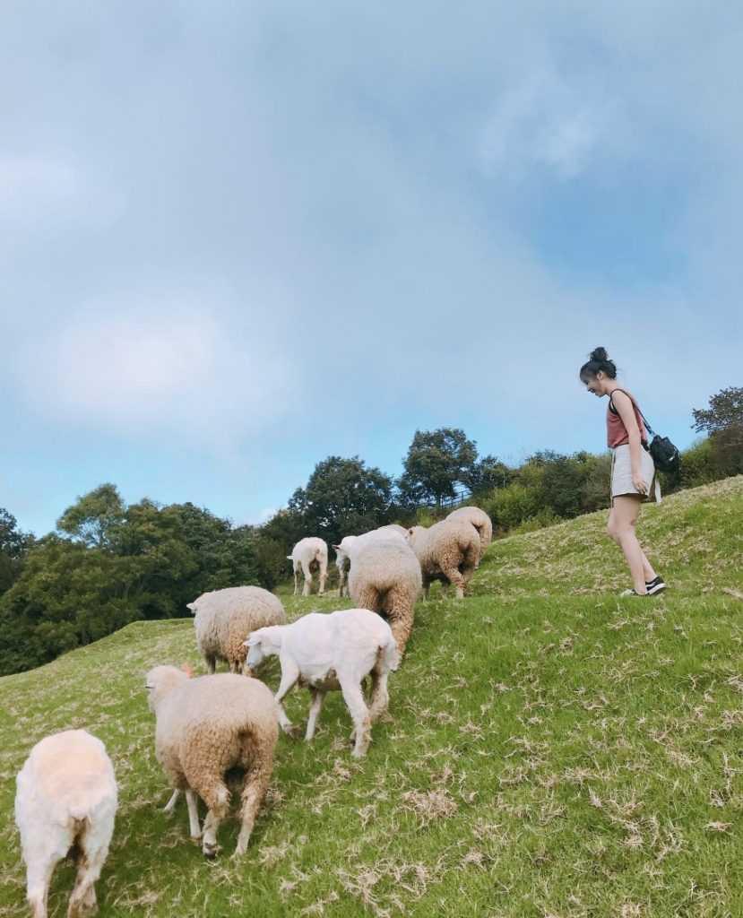 清境農場綿羊秀  歷久不衰的青青草原綿羊脫衣秀,與羊咩咩最親密的接觸!
