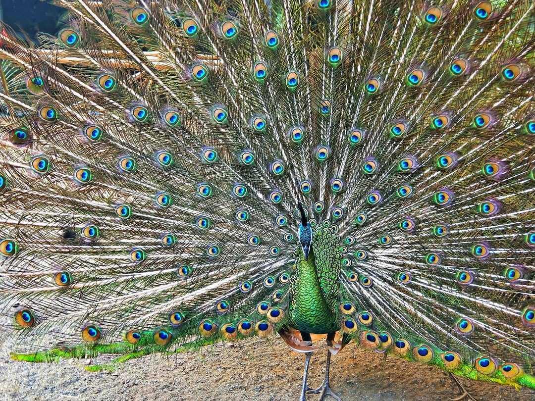 鳳凰谷鳥園生態園區 |孔雀