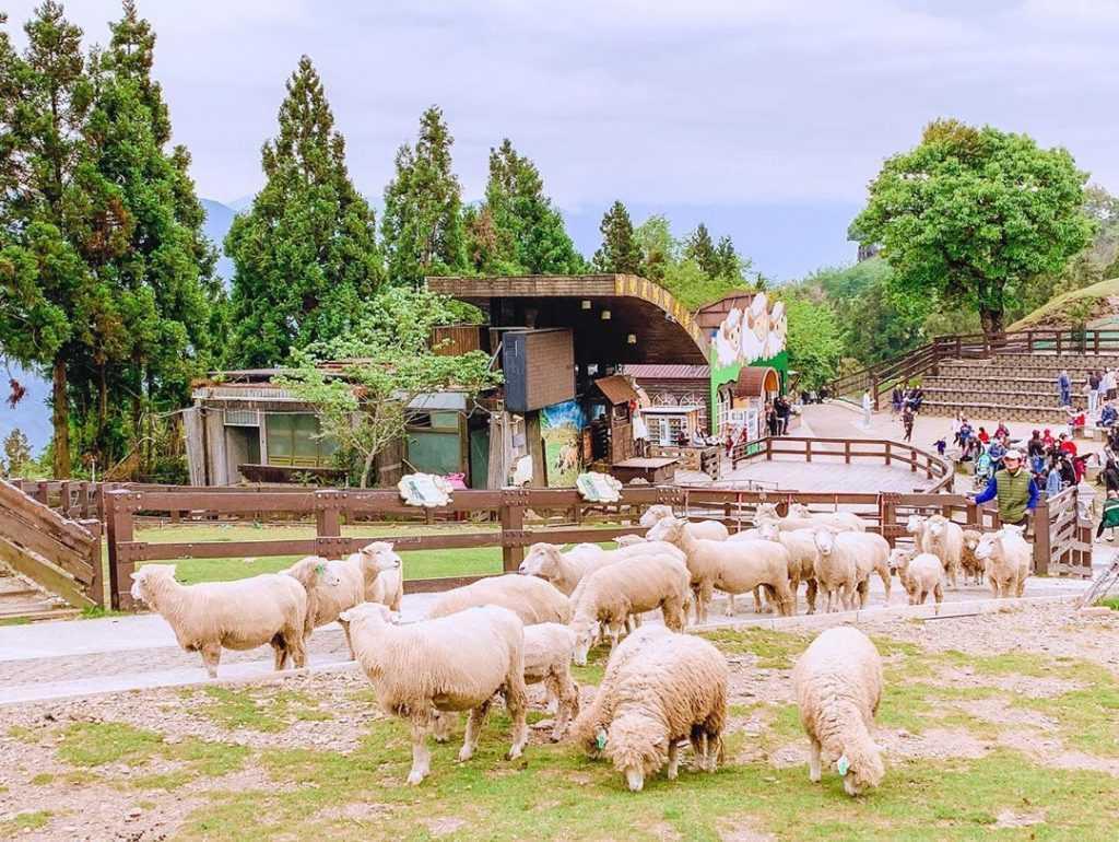清境農場綿羊秀