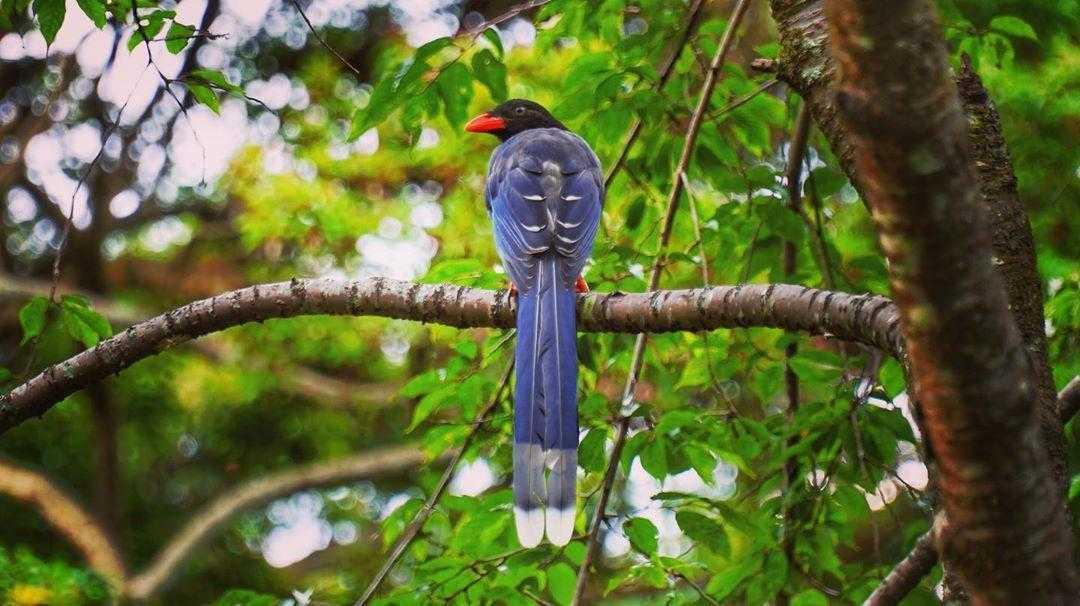 惠蓀實驗林場 | 台灣藍鵲