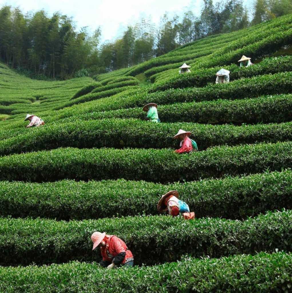 遊山茶訪茶園