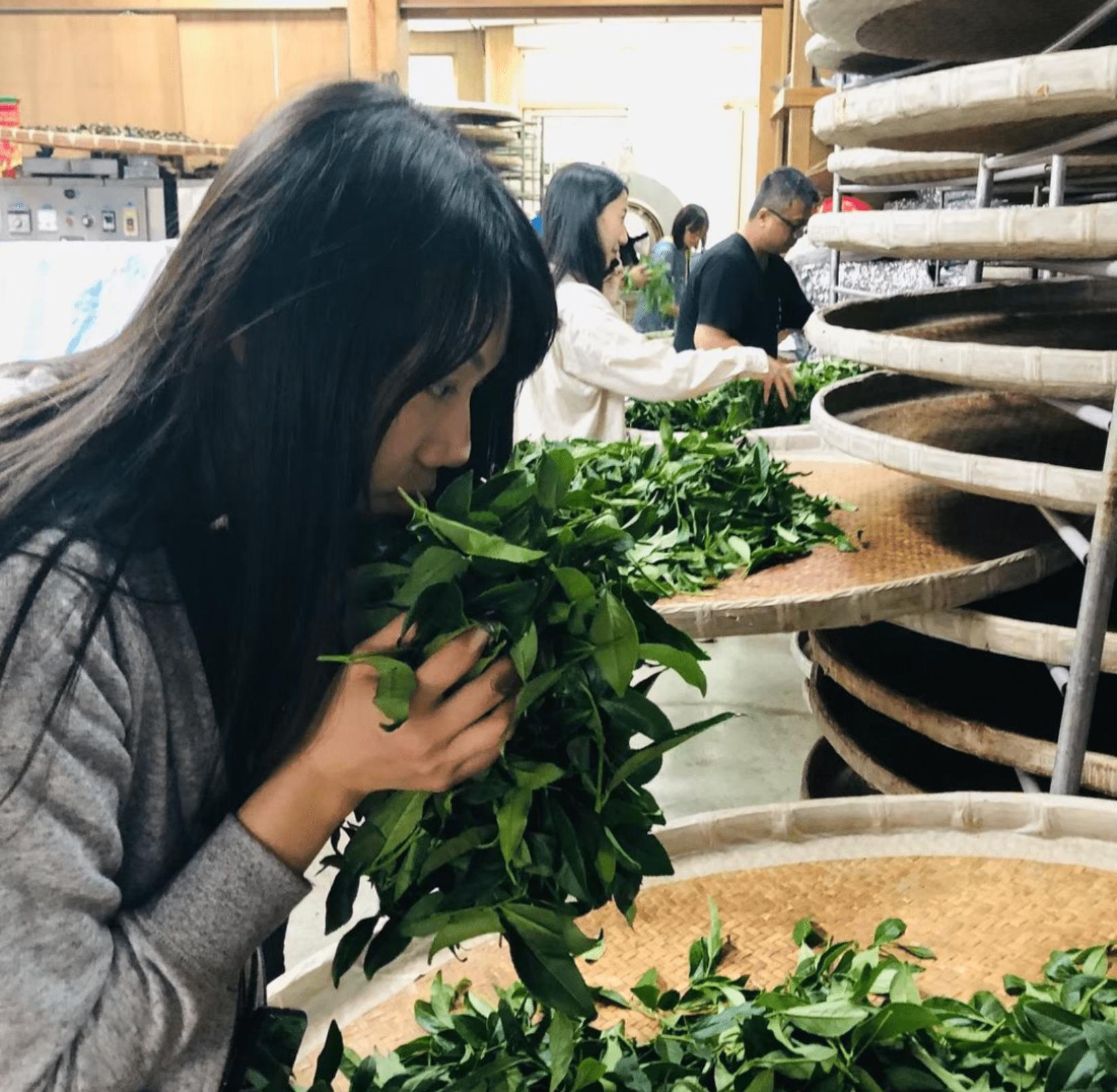 阿里山特色體驗 生力農場採茶體驗