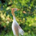 阿里山黃頭鷺季 | 賞鳥時間、地點,周邊美食、景點懶人包