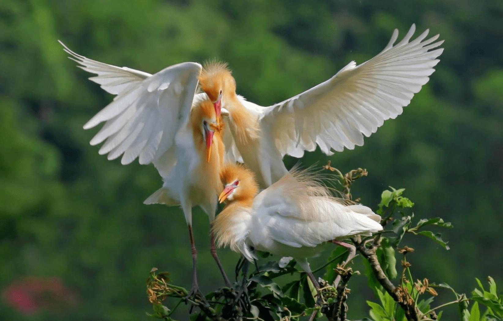 阿里山黃頭鷺季 黃頭鷺