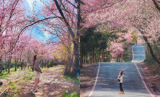 武陵農場櫻花祭