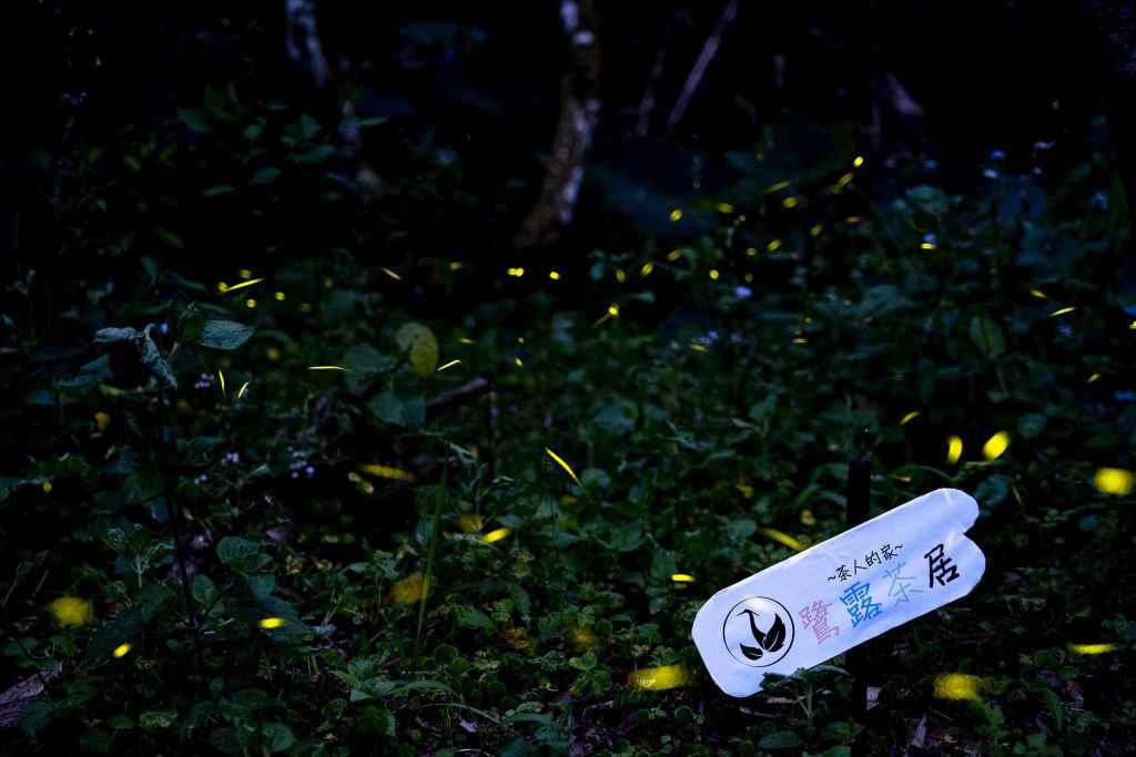 嘉義螢火蟲 飛瀑步道螢火蟲盛況