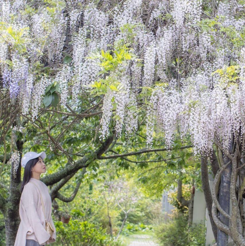 武陵農場露營 白藤花