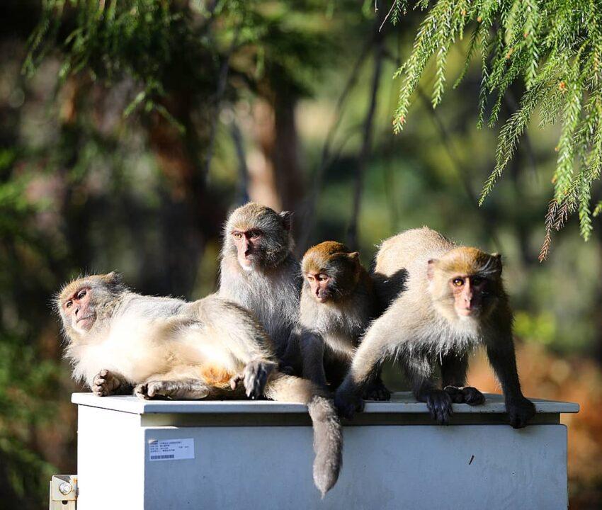 武陵農場露營區 獼猴